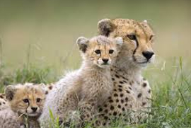 Cheetah Breeding Project